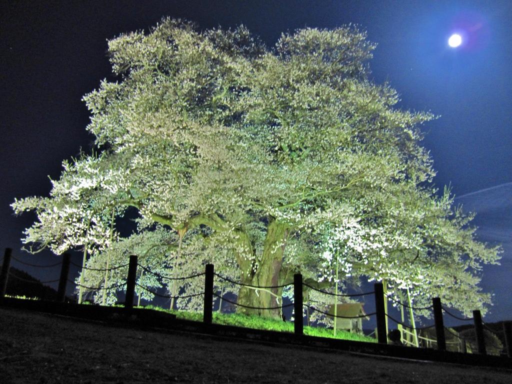 醍醐桜 (10)