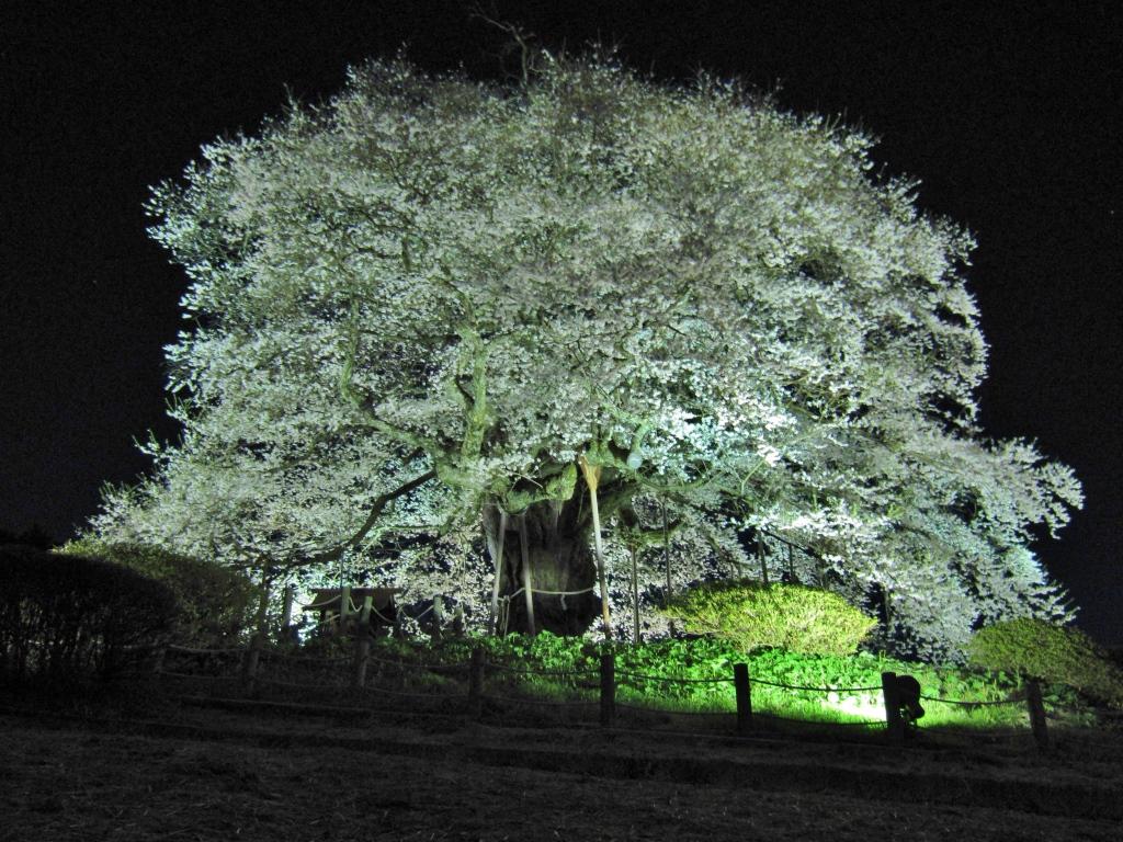 醍醐桜 (11)