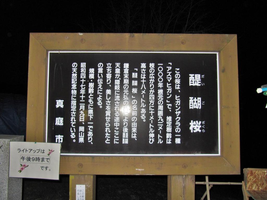 醍醐桜 (12)