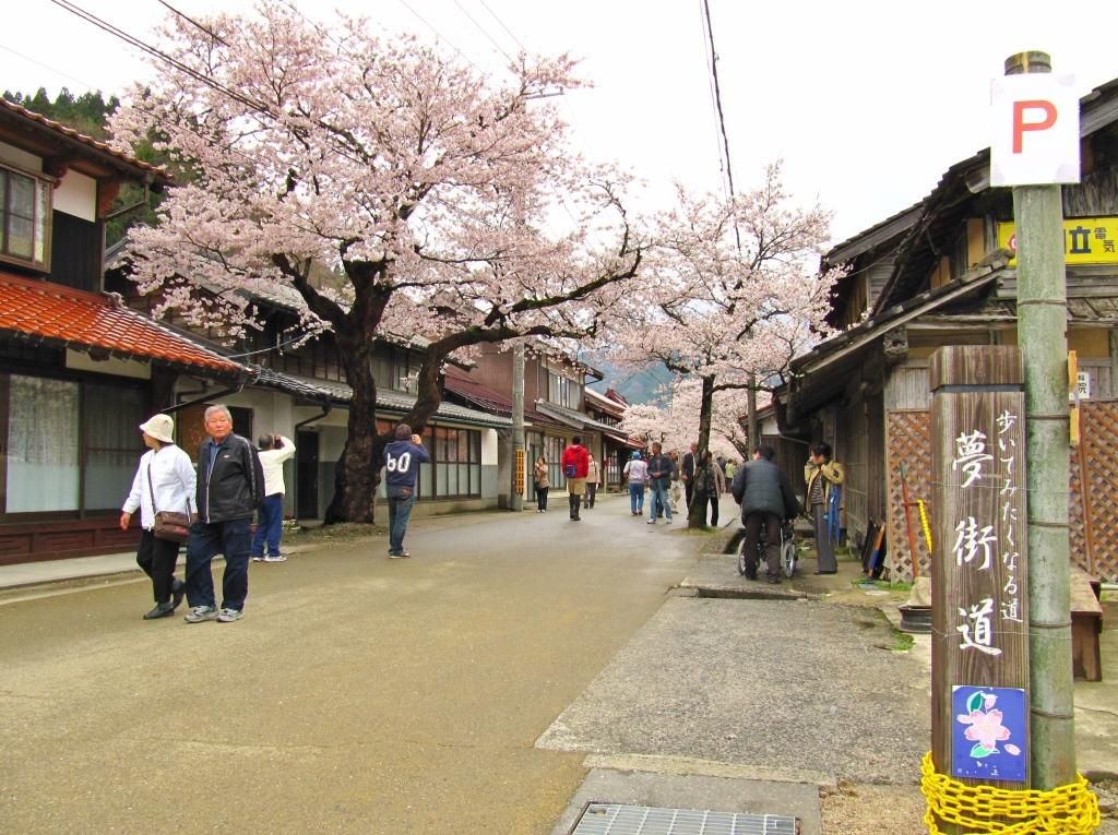 凱旋桜 (2)