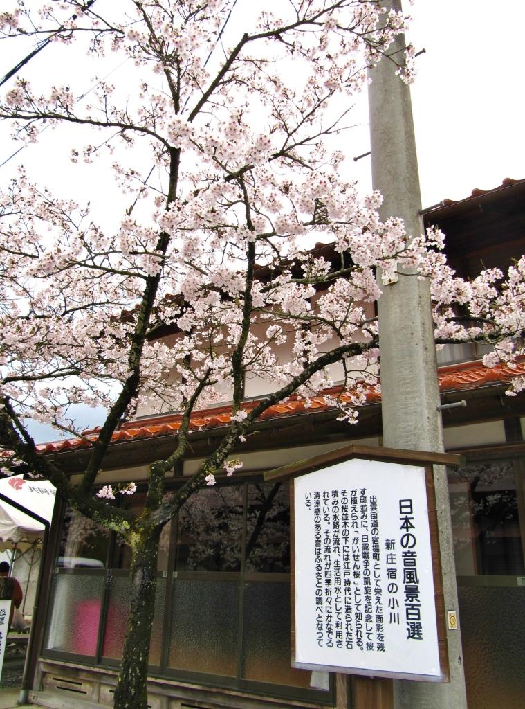 凱旋桜 (4)