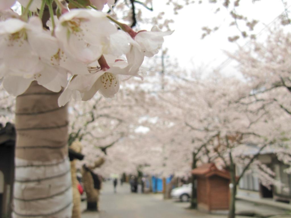 凱旋桜 (9)