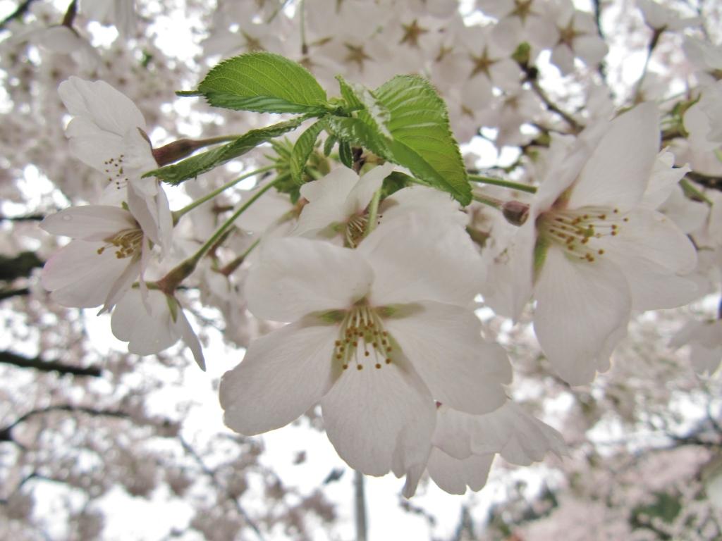 凱旋桜 (10)