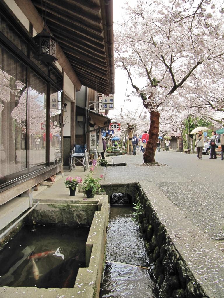 凱旋桜 (11)