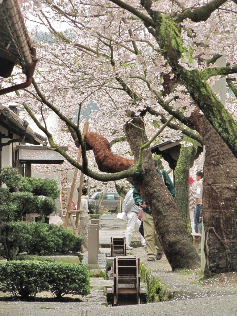 凱旋桜 (13)