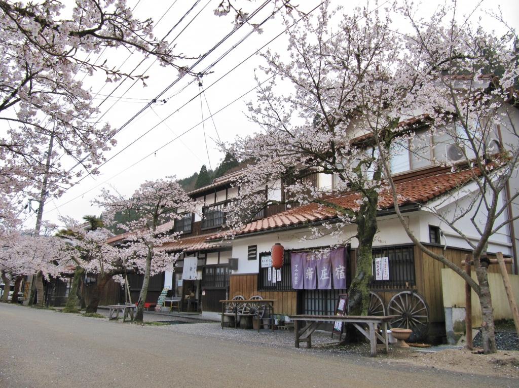 凱旋桜 (15)