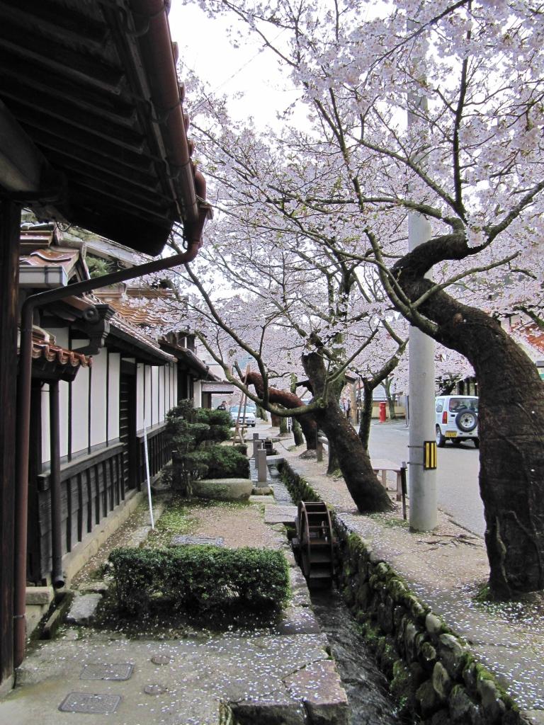 凱旋桜 (17)