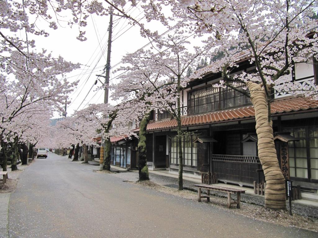 凱旋桜 (19)