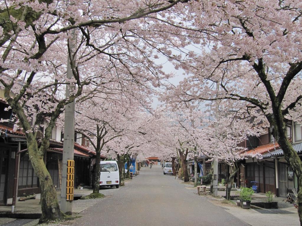 凱旋桜 (20)