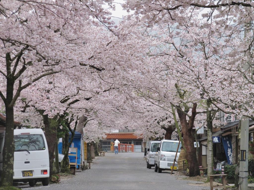 凱旋桜 (21)