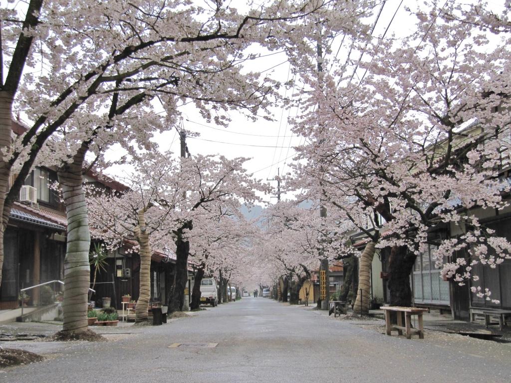 凱旋桜 (22)