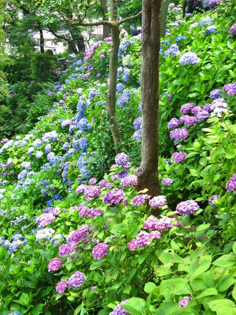 長谷寺紫陽花 (8)