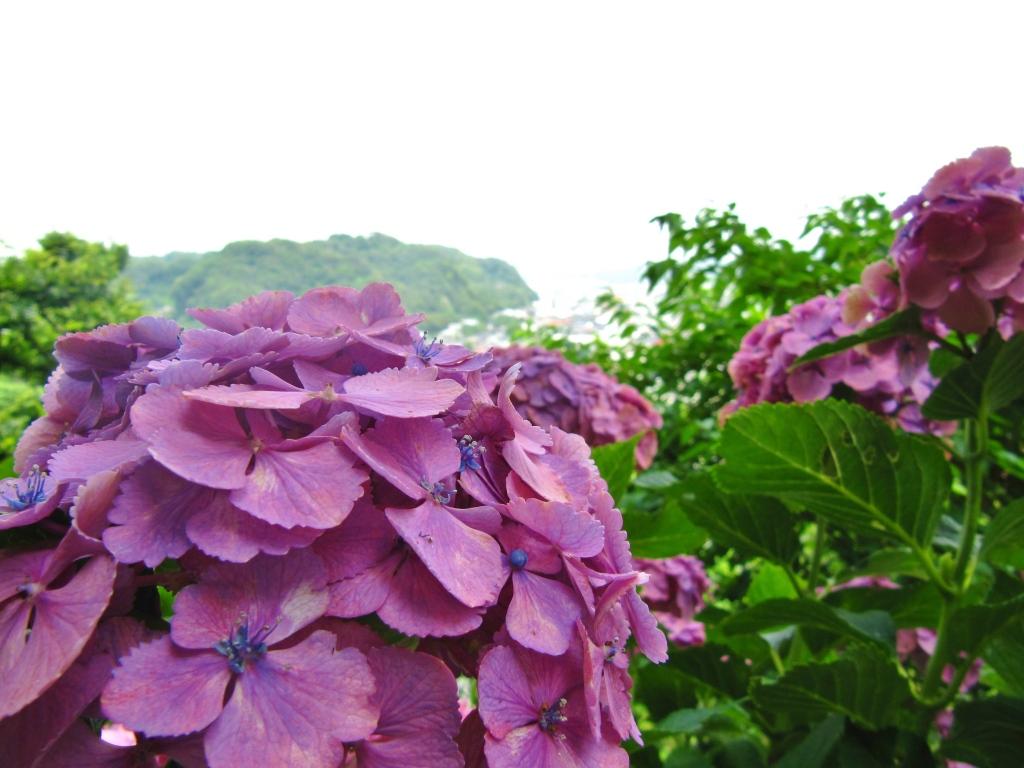 長谷寺紫陽花 (10)