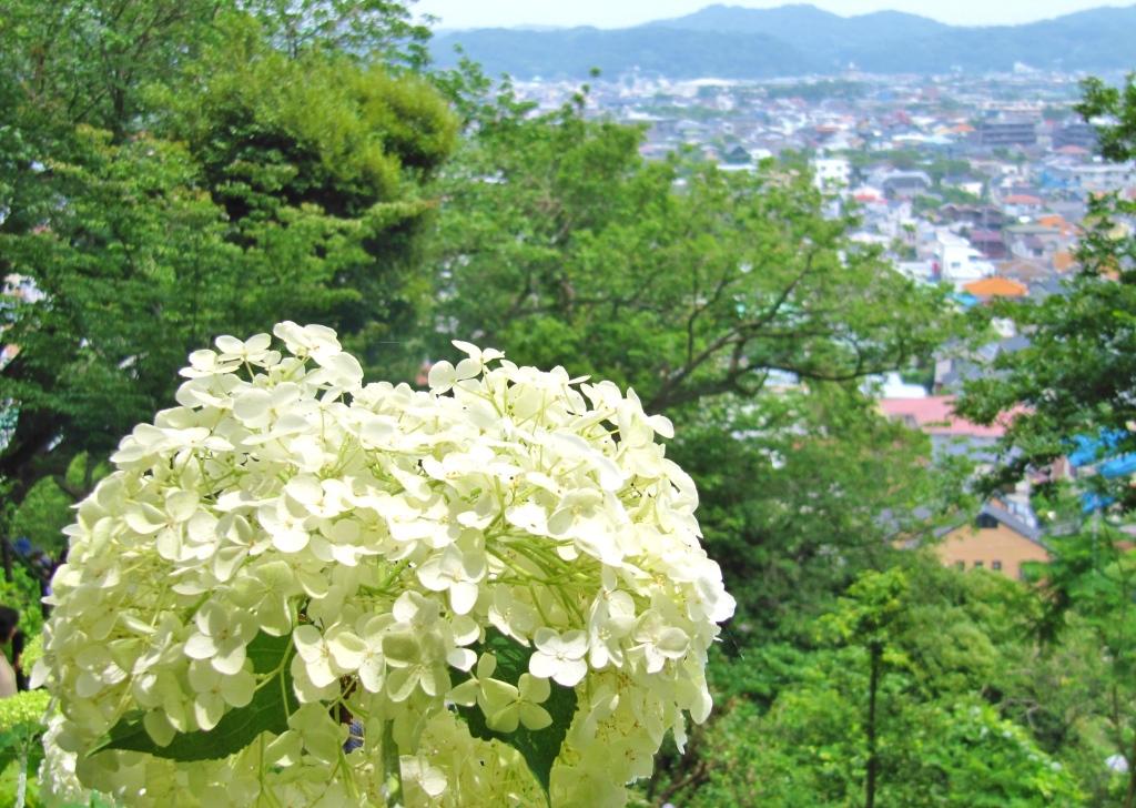 長谷寺紫陽花 (11)