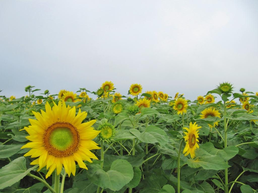 北竜ひまわり畑 (5)