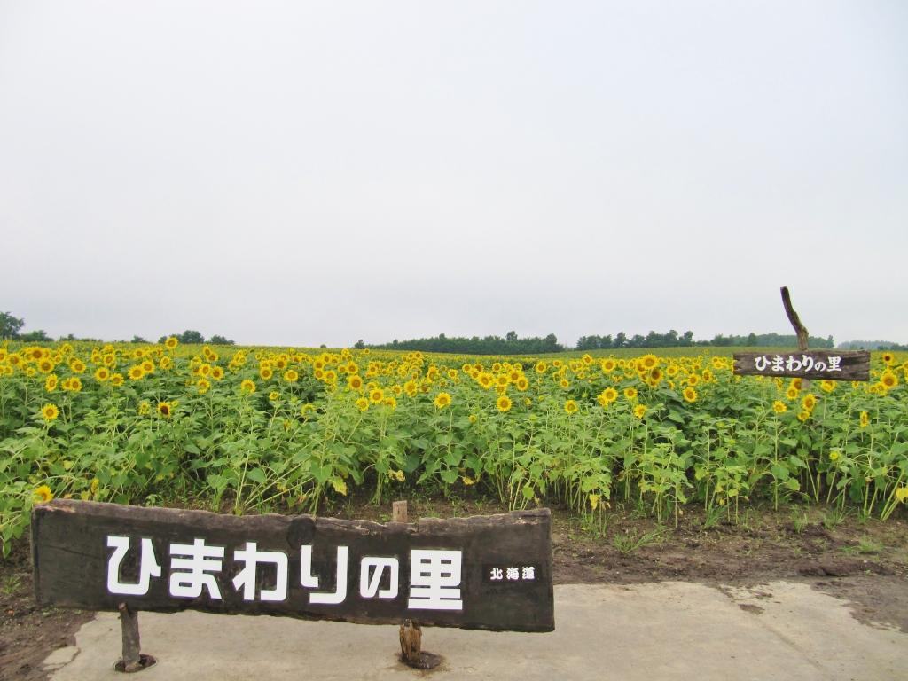 北竜ひまわり畑 (13)