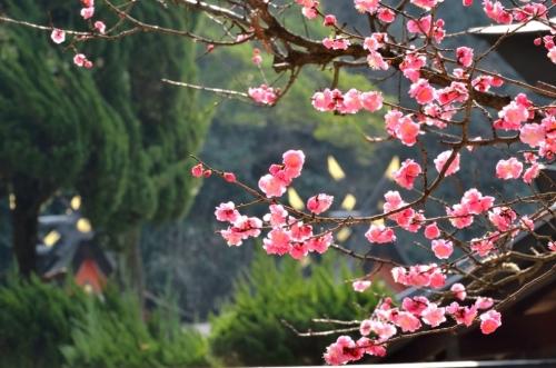 枚岡神社の紅梅