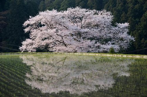 諸木野の桜 (1)