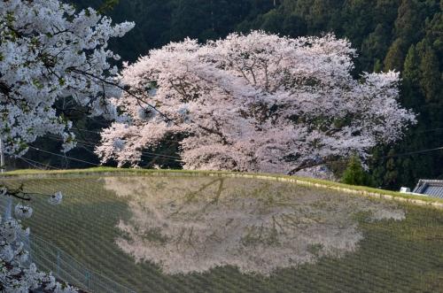 諸木野の桜 (2)