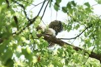 フクロウ幼鳥