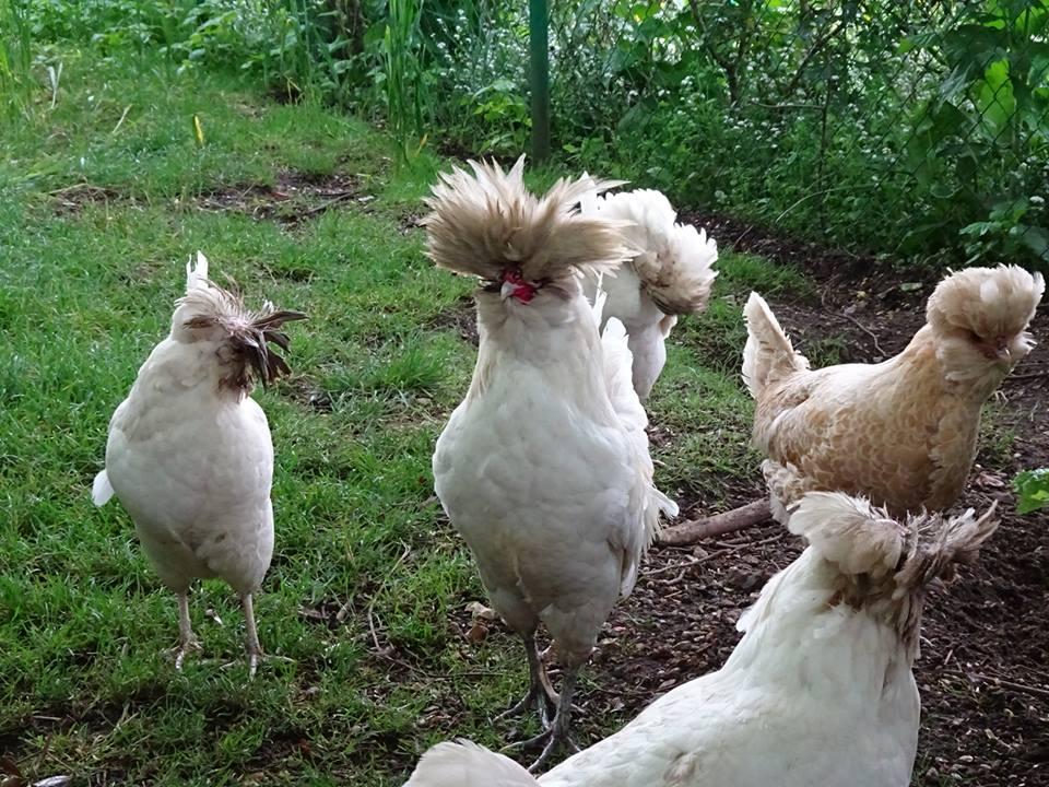 モネの庭の鶏 10172833_499982963462535_8214078609739531490_n