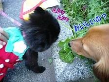 草を食べるニコルちゃん
