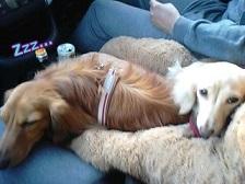 車内で寝るワンコ達
