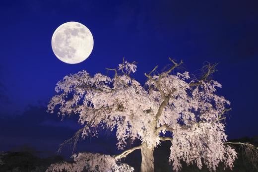 しだれ桜と月