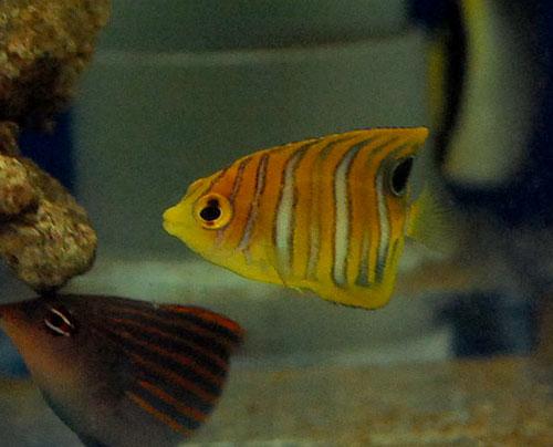 ニシキヤッコ  幼魚