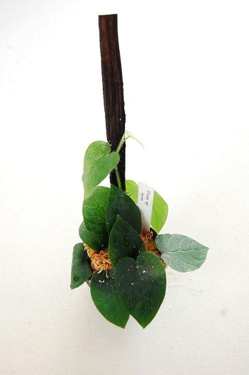 Ficus sp serian