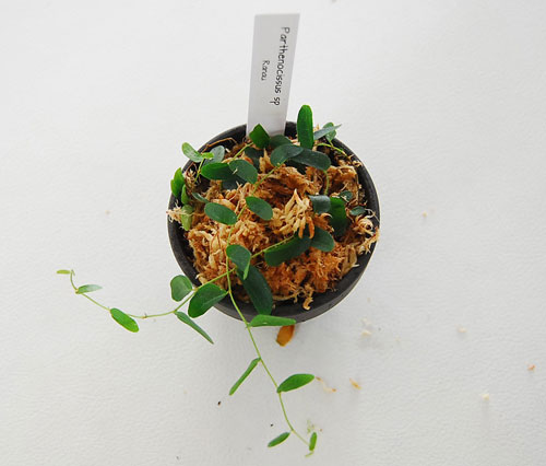 Rhaphiclophora sp Ranau