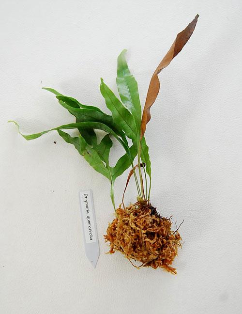 Drynaria cifolia sp