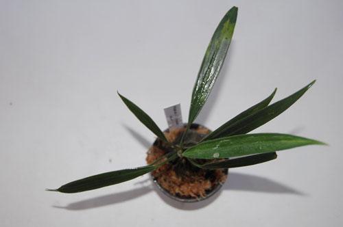 aridarum-cf-crassum02.jpg