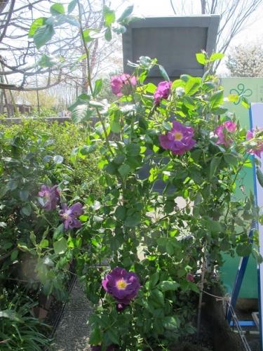 浜名湖花博2014 花美の庭 紫の薔薇