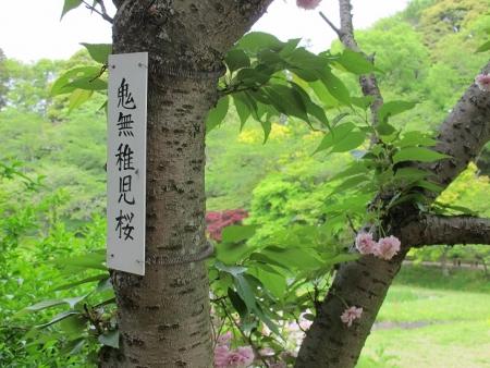 浜名湖花博 鬼無稚児桜