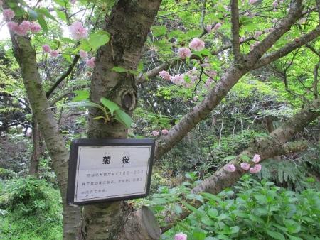 浜名湖花博 菊桜