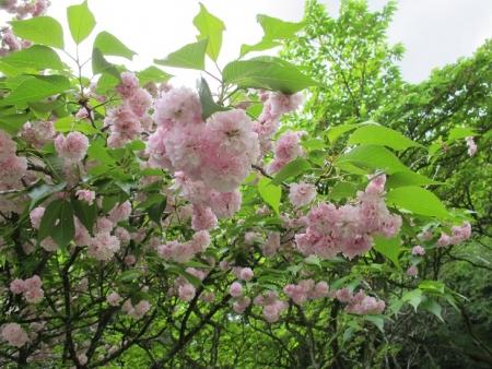 浜名湖花博 六甲菊桜
