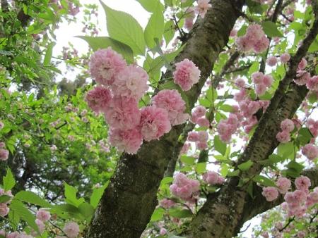 浜名湖花博 高松稚児桜