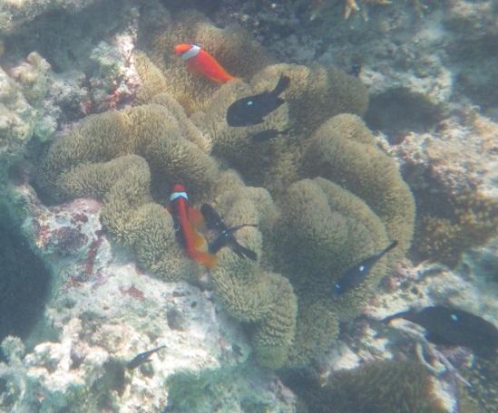 波照間ニシハマ ハタゴイソギンチャクに集う魚たち