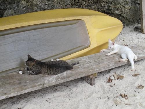 川平湾の猫
