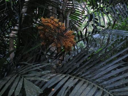 石垣島 バンナ岳 枇榔