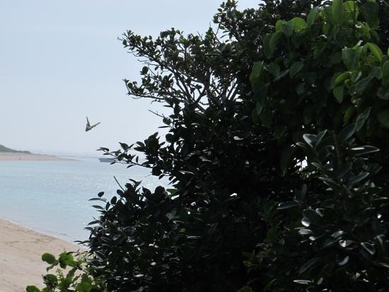 波照間ニシハマ オオゴマダラ