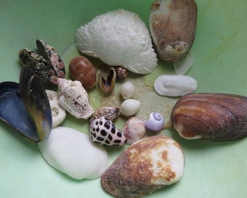 波照間 ペムチ浜 貝殻