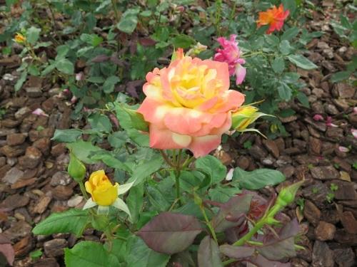 ディズニーランド シンデレラ城前の薔薇