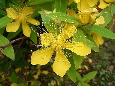 ビヨウヤナギ 季節の花300より