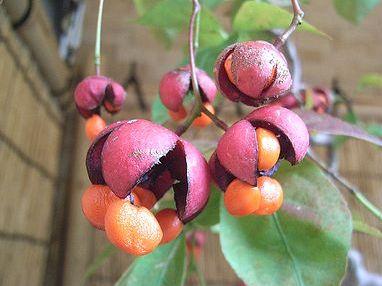 季節の花300ツリバナ吊花