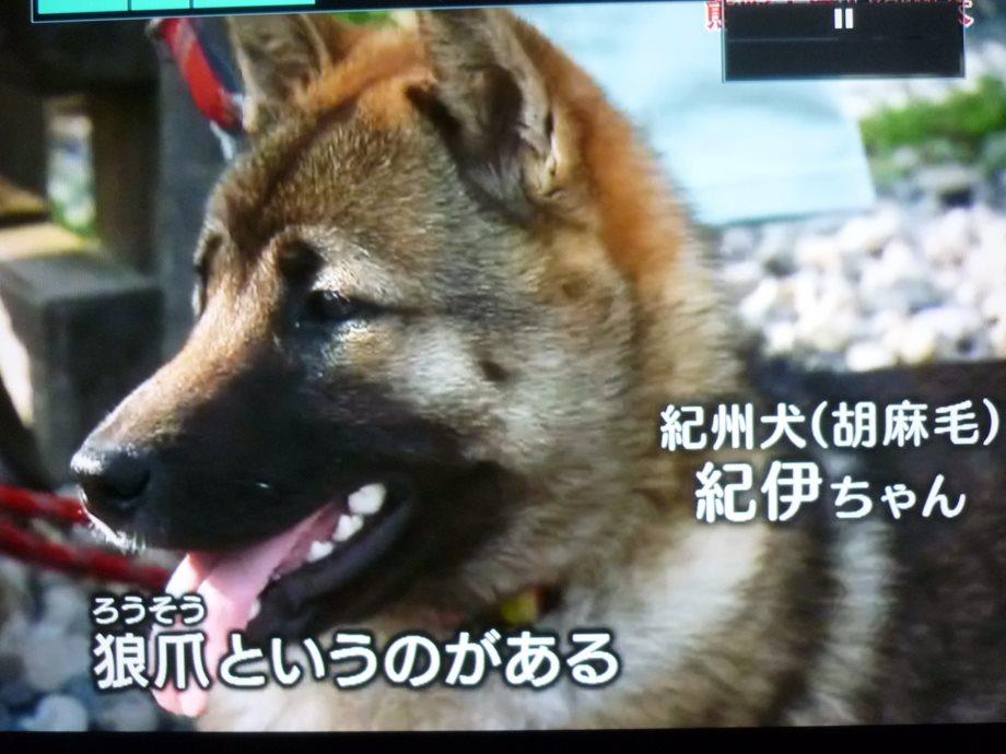 201407紀州犬紀伊ちゃん01