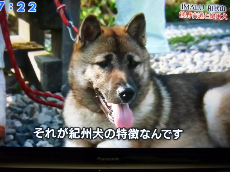 201407紀州犬紀伊ちゃん02