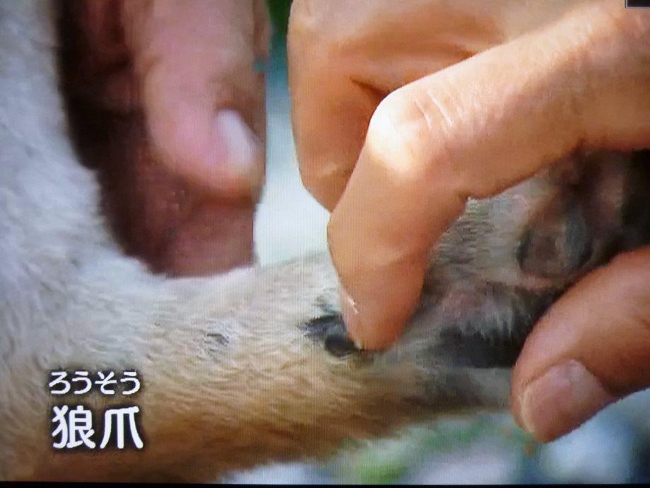 201407紀州犬紀伊ちゃん03