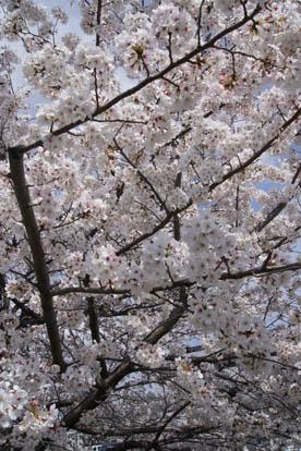 桜多くアップ